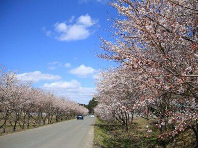 復興の桜 - 飯舘村