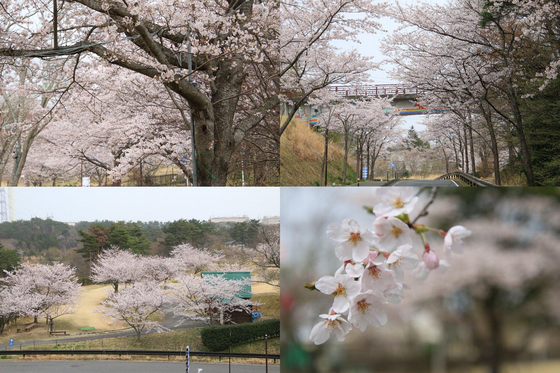 相双桜2021-二ツ沼総合公園(広野町)
