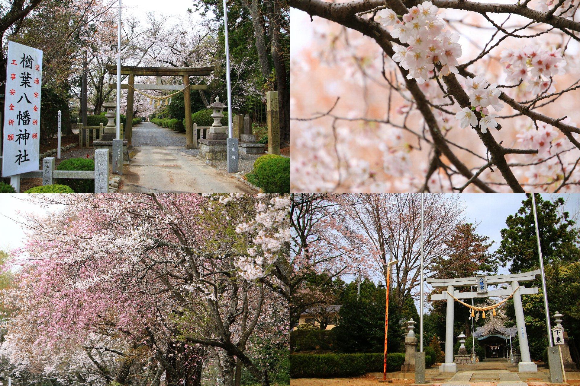 相双桜2021-楢葉八幡神社(広野町)
