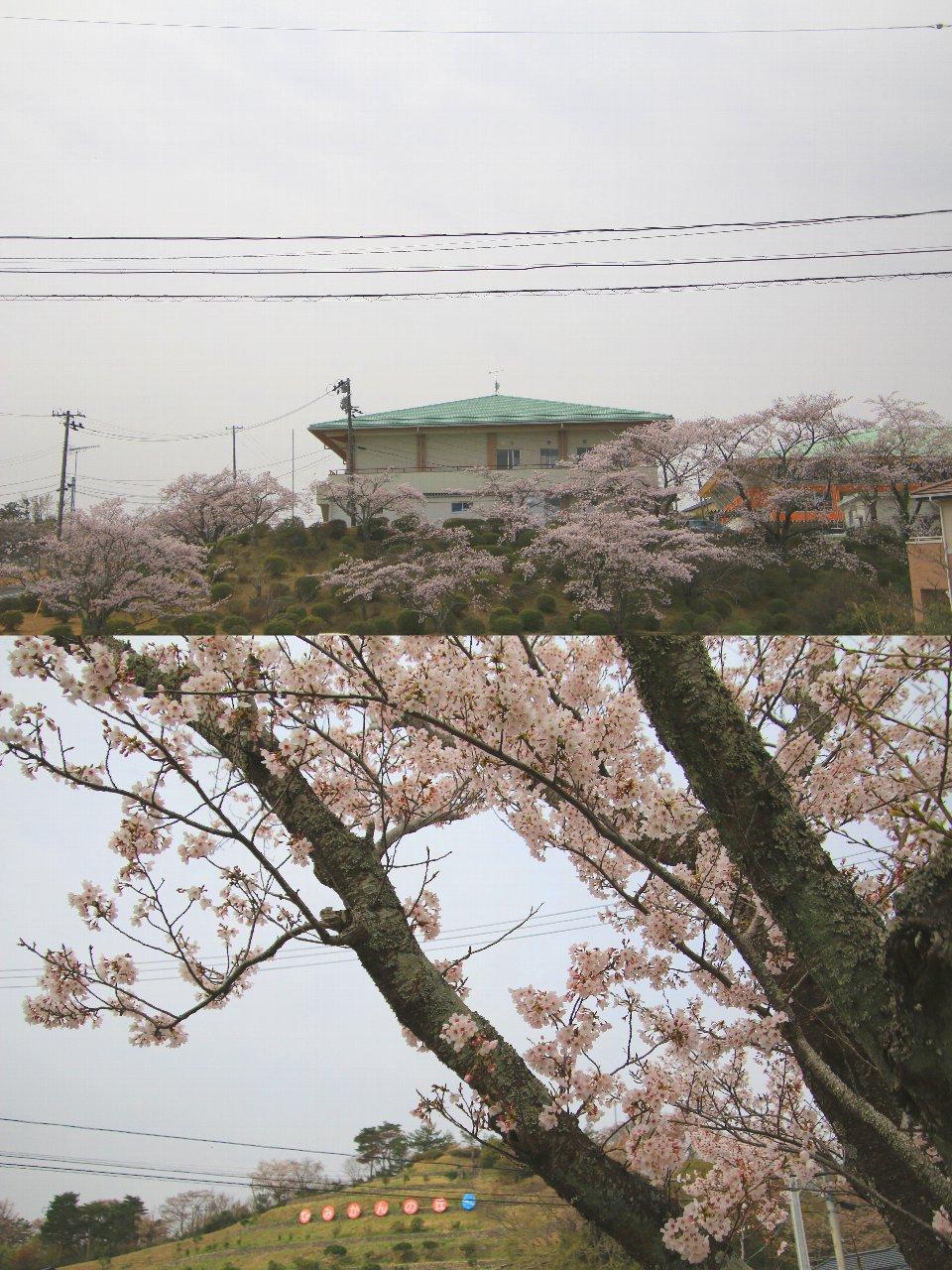 相双桜2021-広野町役場前(広野町)