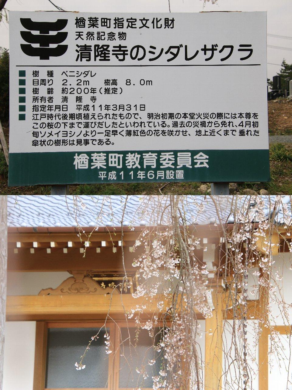 相双桜2021-清隆寺(楢葉町)