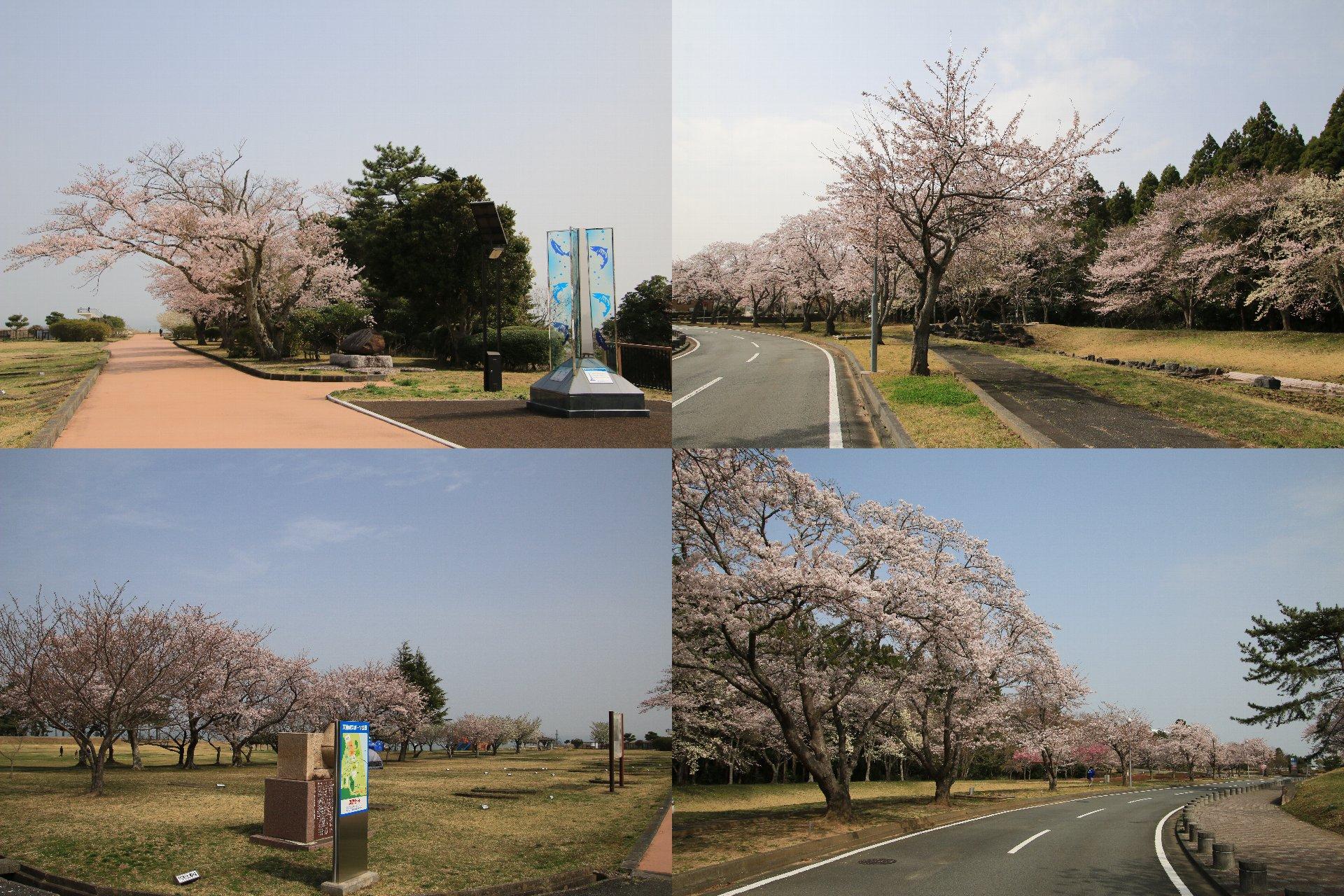 相双桜2021-天神岬スポーツ公園(楢葉町)