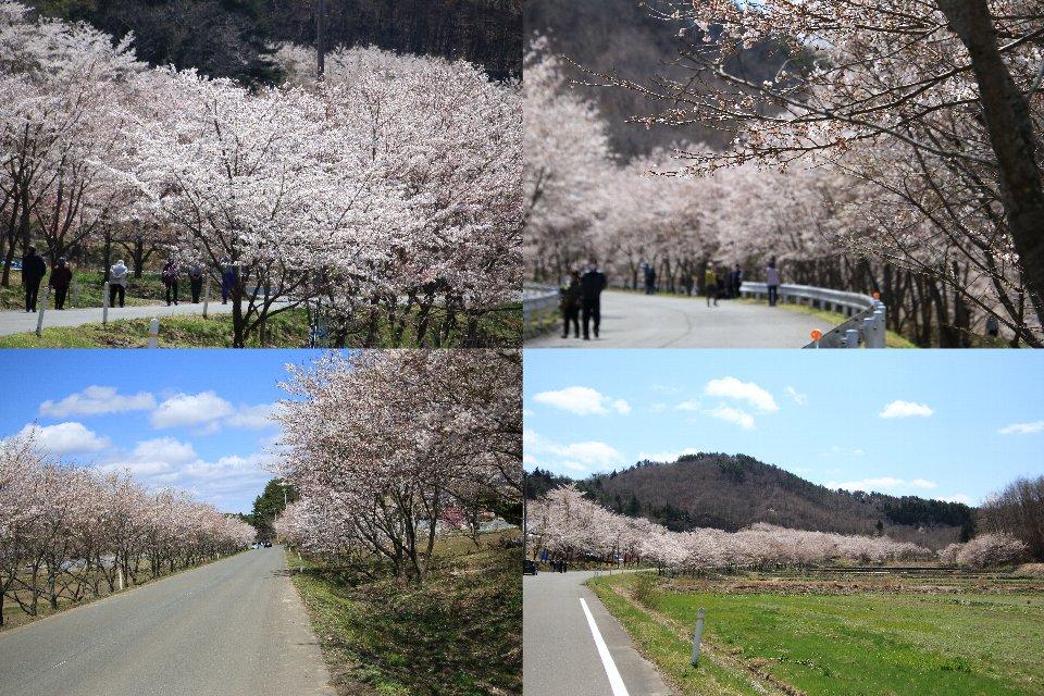 飯館復興の桜 - 飯舘村