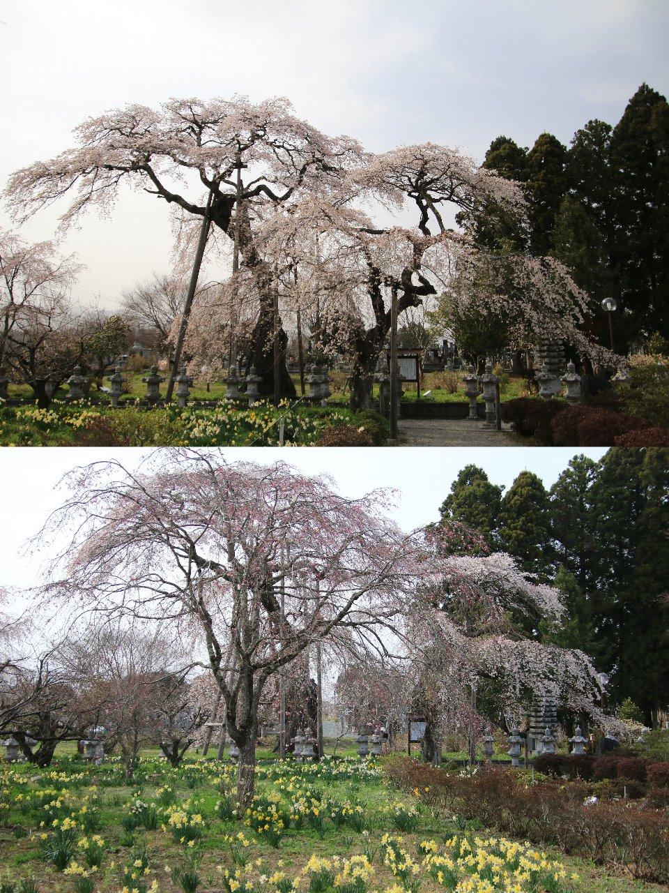 相双桜2021-寶泉寺(富岡町)