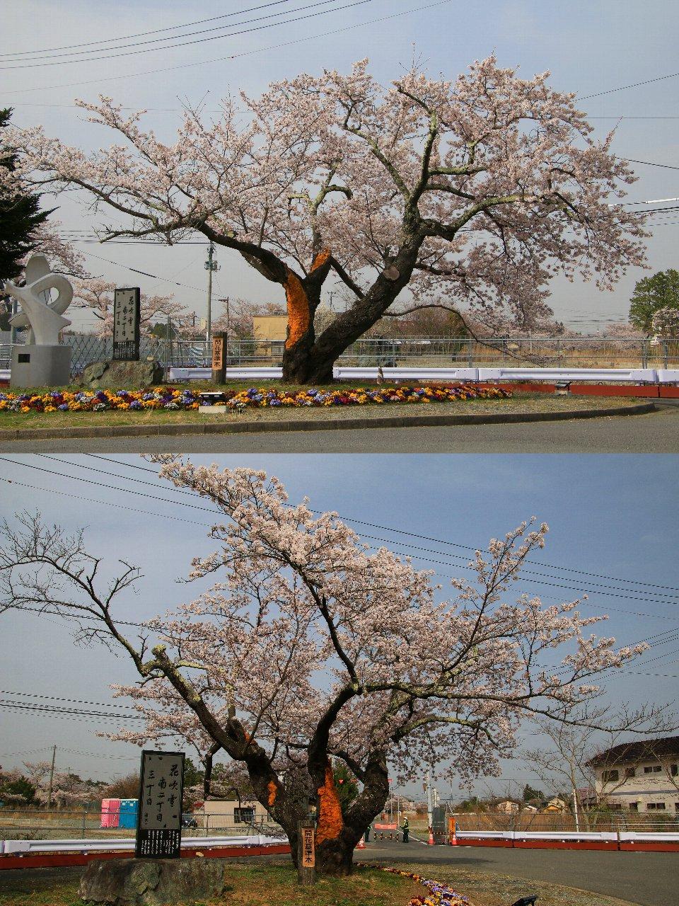 相双桜2021-夜の森_標準木(富岡町)