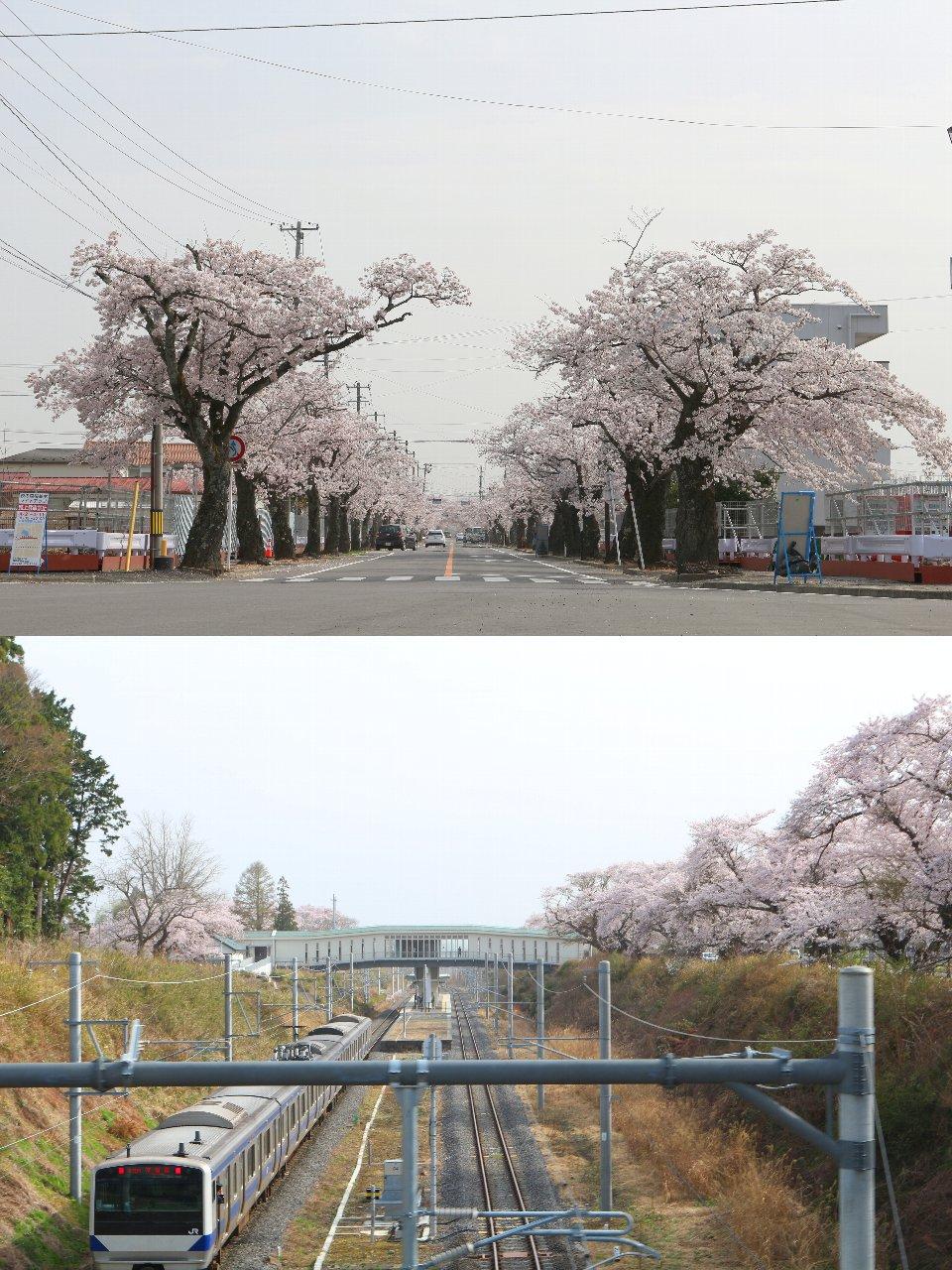 相双桜2021-夜の森(富岡町)